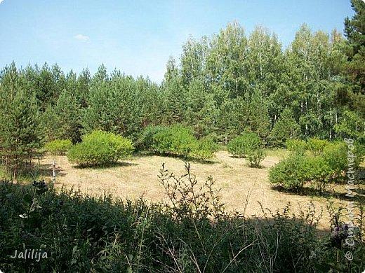 Несмотря на то, что летом много дел и в саду, и на огороде, мы часто бываем  в лесу. У нас удивительный лес! И вас, мои гости, приглашаю пройтись  по нашему лесу. фото 15