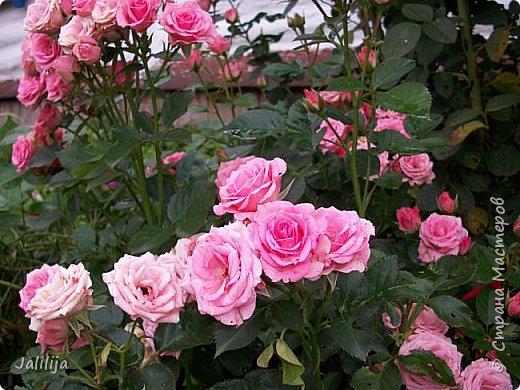 Всем моим гостям солнечного летнего настроения! У меня, наконец-то, начался сезон цветения роз. И мне не терпится поделиться с вами, дорогие жители и гости Страны мастеров, своей радостью. Когда-то в моем далёком детстве розы казались мне чем-то абсолютно  недосягаемым. Астры и космея были пределом моих  мечтаний. В далёкой национальной провинциальной деревне астры-то мало кто знал, а выращивали 1-2 человека. Когда у меня много лет назад зацвела первая роза, это было что-то невообразимое. Тогда для меня существовал один вид - роза. Конечно, теперь я много знаю , читаю, смотрю в интернете, узнаю на своём, к сожалению, иногда крайне печальном опыте, когда розы погибают из-за суровых зим или во время оттепелей. Розы остаются для меня как и тогда, просто розами, без претензий. Они украшают моё лето и дарят радость окружающим. Посмотрите на них и вы. Пусть они подарят вам несколько минут счастья. фото 29