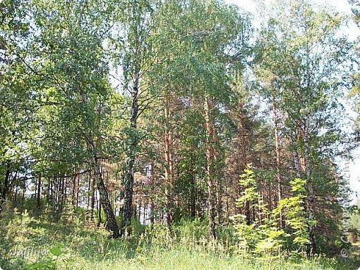 Несмотря на то, что летом много дел и в саду, и на огороде, мы часто бываем  в лесу. У нас удивительный лес! И вас, мои гости, приглашаю пройтись  по нашему лесу. фото 16