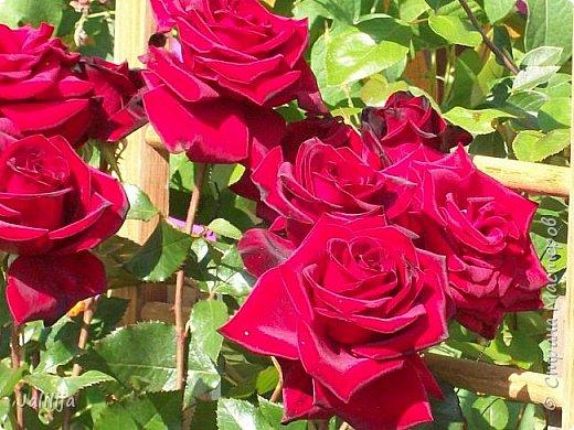 Всем моим гостям солнечного летнего настроения! У меня, наконец-то, начался сезон цветения роз. И мне не терпится поделиться с вами, дорогие жители и гости Страны мастеров, своей радостью. Когда-то в моем далёком детстве розы казались мне чем-то абсолютно  недосягаемым. Астры и космея были пределом моих  мечтаний. В далёкой национальной провинциальной деревне астры-то мало кто знал, а выращивали 1-2 человека. Когда у меня много лет назад зацвела первая роза, это было что-то невообразимое. Тогда для меня существовал один вид - роза. Конечно, теперь я много знаю , читаю, смотрю в интернете, узнаю на своём, к сожалению, иногда крайне печальном опыте, когда розы погибают из-за суровых зим или во время оттепелей. Розы остаются для меня как и тогда, просто розами, без претензий. Они украшают моё лето и дарят радость окружающим. Посмотрите на них и вы. Пусть они подарят вам несколько минут счастья. фото 2