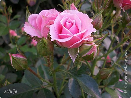 Всем моим гостям солнечного летнего настроения! У меня, наконец-то, начался сезон цветения роз. И мне не терпится поделиться с вами, дорогие жители и гости Страны мастеров, своей радостью. Когда-то в моем далёком детстве розы казались мне чем-то абсолютно  недосягаемым. Астры и космея были пределом моих  мечтаний. В далёкой национальной провинциальной деревне астры-то мало кто знал, а выращивали 1-2 человека. Когда у меня много лет назад зацвела первая роза, это было что-то невообразимое. Тогда для меня существовал один вид - роза. Конечно, теперь я много знаю , читаю, смотрю в интернете, узнаю на своём, к сожалению, иногда крайне печальном опыте, когда розы погибают из-за суровых зим или во время оттепелей. Розы остаются для меня как и тогда, просто розами, без претензий. Они украшают моё лето и дарят радость окружающим. Посмотрите на них и вы. Пусть они подарят вам несколько минут счастья. фото 30