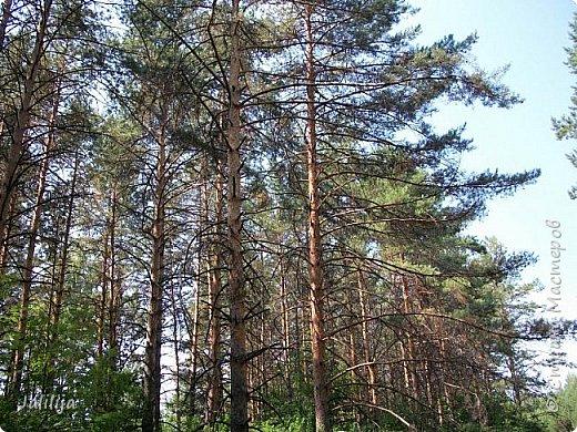 Несмотря на то, что летом много дел и в саду, и на огороде, мы часто бываем  в лесу. У нас удивительный лес! И вас, мои гости, приглашаю пройтись  по нашему лесу. фото 17