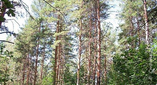 Несмотря на то, что летом много дел и в саду, и на огороде, мы часто бываем  в лесу. У нас удивительный лес! И вас, мои гости, приглашаю пройтись  по нашему лесу. фото 18