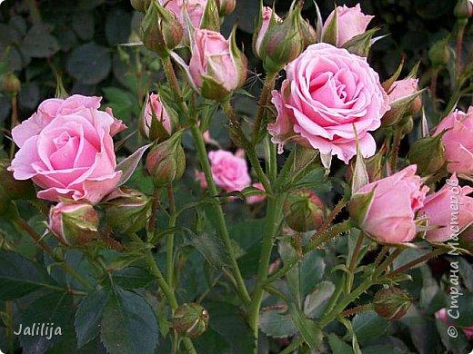 Всем моим гостям солнечного летнего настроения! У меня, наконец-то, начался сезон цветения роз. И мне не терпится поделиться с вами, дорогие жители и гости Страны мастеров, своей радостью. Когда-то в моем далёком детстве розы казались мне чем-то абсолютно  недосягаемым. Астры и космея были пределом моих  мечтаний. В далёкой национальной провинциальной деревне астры-то мало кто знал, а выращивали 1-2 человека. Когда у меня много лет назад зацвела первая роза, это было что-то невообразимое. Тогда для меня существовал один вид - роза. Конечно, теперь я много знаю , читаю, смотрю в интернете, узнаю на своём, к сожалению, иногда крайне печальном опыте, когда розы погибают из-за суровых зим или во время оттепелей. Розы остаются для меня как и тогда, просто розами, без претензий. Они украшают моё лето и дарят радость окружающим. Посмотрите на них и вы. Пусть они подарят вам несколько минут счастья. фото 32