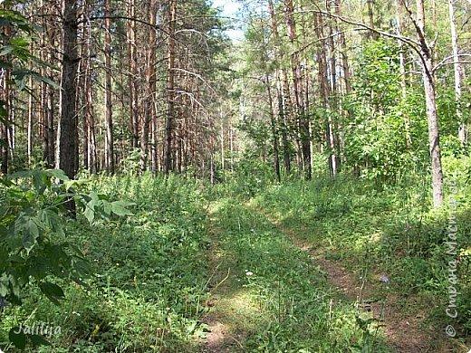 Несмотря на то, что летом много дел и в саду, и на огороде, мы часто бываем  в лесу. У нас удивительный лес! И вас, мои гости, приглашаю пройтись  по нашему лесу. фото 19