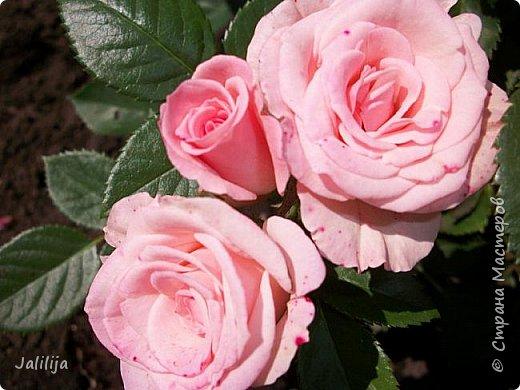 Всем моим гостям солнечного летнего настроения! У меня, наконец-то, начался сезон цветения роз. И мне не терпится поделиться с вами, дорогие жители и гости Страны мастеров, своей радостью. Когда-то в моем далёком детстве розы казались мне чем-то абсолютно  недосягаемым. Астры и космея были пределом моих  мечтаний. В далёкой национальной провинциальной деревне астры-то мало кто знал, а выращивали 1-2 человека. Когда у меня много лет назад зацвела первая роза, это было что-то невообразимое. Тогда для меня существовал один вид - роза. Конечно, теперь я много знаю , читаю, смотрю в интернете, узнаю на своём, к сожалению, иногда крайне печальном опыте, когда розы погибают из-за суровых зим или во время оттепелей. Розы остаются для меня как и тогда, просто розами, без претензий. Они украшают моё лето и дарят радость окружающим. Посмотрите на них и вы. Пусть они подарят вам несколько минут счастья. фото 33