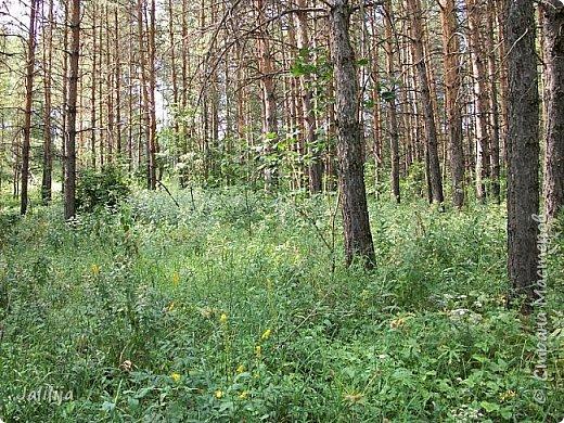 Несмотря на то, что летом много дел и в саду, и на огороде, мы часто бываем  в лесу. У нас удивительный лес! И вас, мои гости, приглашаю пройтись  по нашему лесу. фото 20