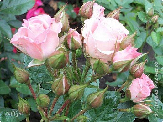 Всем моим гостям солнечного летнего настроения! У меня, наконец-то, начался сезон цветения роз. И мне не терпится поделиться с вами, дорогие жители и гости Страны мастеров, своей радостью. Когда-то в моем далёком детстве розы казались мне чем-то абсолютно  недосягаемым. Астры и космея были пределом моих  мечтаний. В далёкой национальной провинциальной деревне астры-то мало кто знал, а выращивали 1-2 человека. Когда у меня много лет назад зацвела первая роза, это было что-то невообразимое. Тогда для меня существовал один вид - роза. Конечно, теперь я много знаю , читаю, смотрю в интернете, узнаю на своём, к сожалению, иногда крайне печальном опыте, когда розы погибают из-за суровых зим или во время оттепелей. Розы остаются для меня как и тогда, просто розами, без претензий. Они украшают моё лето и дарят радость окружающим. Посмотрите на них и вы. Пусть они подарят вам несколько минут счастья. фото 34