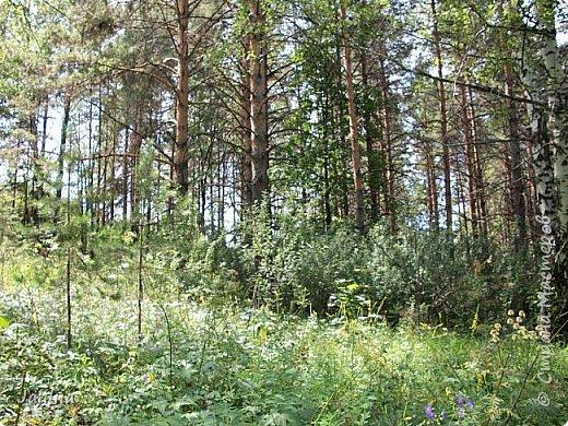 Несмотря на то, что летом много дел и в саду, и на огороде, мы часто бываем  в лесу. У нас удивительный лес! И вас, мои гости, приглашаю пройтись  по нашему лесу. фото 21