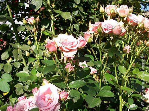 Всем моим гостям солнечного летнего настроения! У меня, наконец-то, начался сезон цветения роз. И мне не терпится поделиться с вами, дорогие жители и гости Страны мастеров, своей радостью. Когда-то в моем далёком детстве розы казались мне чем-то абсолютно  недосягаемым. Астры и космея были пределом моих  мечтаний. В далёкой национальной провинциальной деревне астры-то мало кто знал, а выращивали 1-2 человека. Когда у меня много лет назад зацвела первая роза, это было что-то невообразимое. Тогда для меня существовал один вид - роза. Конечно, теперь я много знаю , читаю, смотрю в интернете, узнаю на своём, к сожалению, иногда крайне печальном опыте, когда розы погибают из-за суровых зим или во время оттепелей. Розы остаются для меня как и тогда, просто розами, без претензий. Они украшают моё лето и дарят радость окружающим. Посмотрите на них и вы. Пусть они подарят вам несколько минут счастья. фото 35