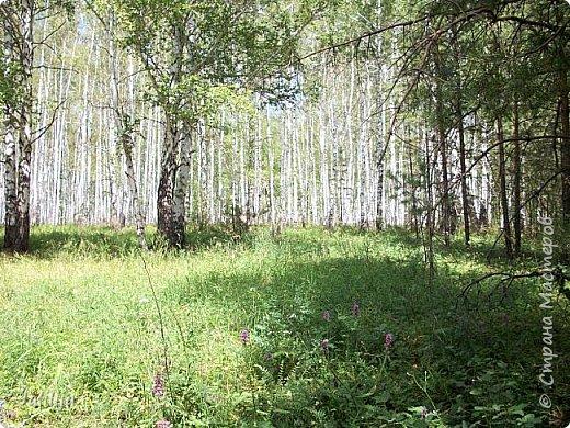 Несмотря на то, что летом много дел и в саду, и на огороде, мы часто бываем  в лесу. У нас удивительный лес! И вас, мои гости, приглашаю пройтись  по нашему лесу. фото 22