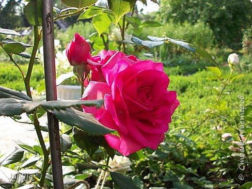 Всем моим гостям солнечного летнего настроения! У меня, наконец-то, начался сезон цветения роз. И мне не терпится поделиться с вами, дорогие жители и гости Страны мастеров, своей радостью. Когда-то в моем далёком детстве розы казались мне чем-то абсолютно  недосягаемым. Астры и космея были пределом моих  мечтаний. В далёкой национальной провинциальной деревне астры-то мало кто знал, а выращивали 1-2 человека. Когда у меня много лет назад зацвела первая роза, это было что-то невообразимое. Тогда для меня существовал один вид - роза. Конечно, теперь я много знаю , читаю, смотрю в интернете, узнаю на своём, к сожалению, иногда крайне печальном опыте, когда розы погибают из-за суровых зим или во время оттепелей. Розы остаются для меня как и тогда, просто розами, без претензий. Они украшают моё лето и дарят радость окружающим. Посмотрите на них и вы. Пусть они подарят вам несколько минут счастья. фото 36