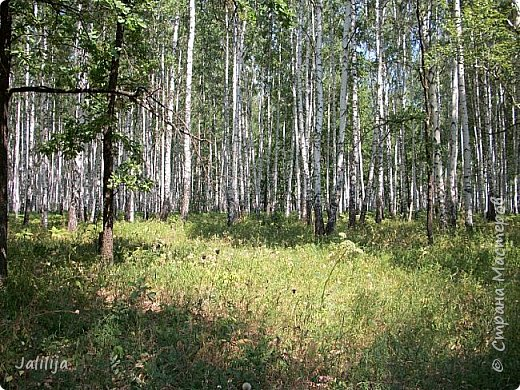 Несмотря на то, что летом много дел и в саду, и на огороде, мы часто бываем  в лесу. У нас удивительный лес! И вас, мои гости, приглашаю пройтись  по нашему лесу. фото 23