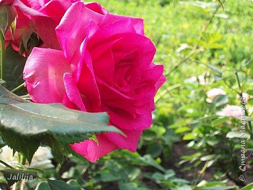 Всем моим гостям солнечного летнего настроения! У меня, наконец-то, начался сезон цветения роз. И мне не терпится поделиться с вами, дорогие жители и гости Страны мастеров, своей радостью. Когда-то в моем далёком детстве розы казались мне чем-то абсолютно  недосягаемым. Астры и космея были пределом моих  мечтаний. В далёкой национальной провинциальной деревне астры-то мало кто знал, а выращивали 1-2 человека. Когда у меня много лет назад зацвела первая роза, это было что-то невообразимое. Тогда для меня существовал один вид - роза. Конечно, теперь я много знаю , читаю, смотрю в интернете, узнаю на своём, к сожалению, иногда крайне печальном опыте, когда розы погибают из-за суровых зим или во время оттепелей. Розы остаются для меня как и тогда, просто розами, без претензий. Они украшают моё лето и дарят радость окружающим. Посмотрите на них и вы. Пусть они подарят вам несколько минут счастья. фото 37