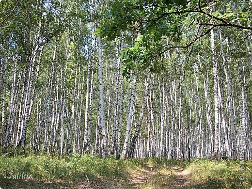 Несмотря на то, что летом много дел и в саду, и на огороде, мы часто бываем  в лесу. У нас удивительный лес! И вас, мои гости, приглашаю пройтись  по нашему лесу. фото 24
