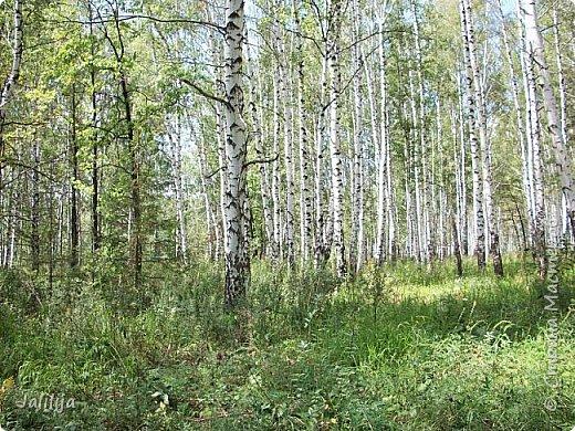 Несмотря на то, что летом много дел и в саду, и на огороде, мы часто бываем  в лесу. У нас удивительный лес! И вас, мои гости, приглашаю пройтись  по нашему лесу. фото 25