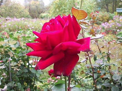 Всем моим гостям солнечного летнего настроения! У меня, наконец-то, начался сезон цветения роз. И мне не терпится поделиться с вами, дорогие жители и гости Страны мастеров, своей радостью. Когда-то в моем далёком детстве розы казались мне чем-то абсолютно  недосягаемым. Астры и космея были пределом моих  мечтаний. В далёкой национальной провинциальной деревне астры-то мало кто знал, а выращивали 1-2 человека. Когда у меня много лет назад зацвела первая роза, это было что-то невообразимое. Тогда для меня существовал один вид - роза. Конечно, теперь я много знаю , читаю, смотрю в интернете, узнаю на своём, к сожалению, иногда крайне печальном опыте, когда розы погибают из-за суровых зим или во время оттепелей. Розы остаются для меня как и тогда, просто розами, без претензий. Они украшают моё лето и дарят радость окружающим. Посмотрите на них и вы. Пусть они подарят вам несколько минут счастья. фото 39
