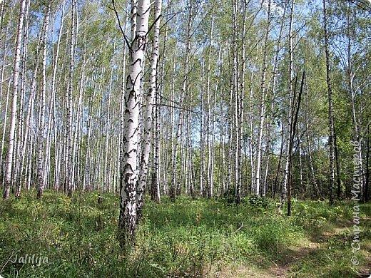 Несмотря на то, что летом много дел и в саду, и на огороде, мы часто бываем  в лесу. У нас удивительный лес! И вас, мои гости, приглашаю пройтись  по нашему лесу. фото 2