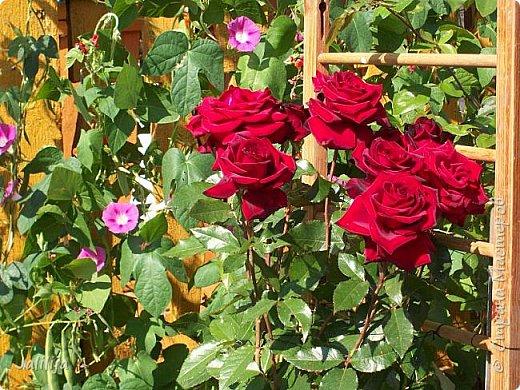 Всем моим гостям солнечного летнего настроения! У меня, наконец-то, начался сезон цветения роз. И мне не терпится поделиться с вами, дорогие жители и гости Страны мастеров, своей радостью. Когда-то в моем далёком детстве розы казались мне чем-то абсолютно  недосягаемым. Астры и космея были пределом моих  мечтаний. В далёкой национальной провинциальной деревне астры-то мало кто знал, а выращивали 1-2 человека. Когда у меня много лет назад зацвела первая роза, это было что-то невообразимое. Тогда для меня существовал один вид - роза. Конечно, теперь я много знаю , читаю, смотрю в интернете, узнаю на своём, к сожалению, иногда крайне печальном опыте, когда розы погибают из-за суровых зим или во время оттепелей. Розы остаются для меня как и тогда, просто розами, без претензий. Они украшают моё лето и дарят радость окружающим. Посмотрите на них и вы. Пусть они подарят вам несколько минут счастья. фото 3