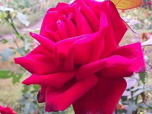 Всем моим гостям солнечного летнего настроения! У меня, наконец-то, начался сезон цветения роз. И мне не терпится поделиться с вами, дорогие жители и гости Страны мастеров, своей радостью. Когда-то в моем далёком детстве розы казались мне чем-то абсолютно  недосягаемым. Астры и космея были пределом моих  мечтаний. В далёкой национальной провинциальной деревне астры-то мало кто знал, а выращивали 1-2 человека. Когда у меня много лет назад зацвела первая роза, это было что-то невообразимое. Тогда для меня существовал один вид - роза. Конечно, теперь я много знаю , читаю, смотрю в интернете, узнаю на своём, к сожалению, иногда крайне печальном опыте, когда розы погибают из-за суровых зим или во время оттепелей. Розы остаются для меня как и тогда, просто розами, без претензий. Они украшают моё лето и дарят радость окружающим. Посмотрите на них и вы. Пусть они подарят вам несколько минут счастья. фото 40