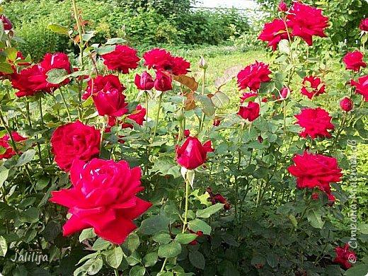 Всем моим гостям солнечного летнего настроения! У меня, наконец-то, начался сезон цветения роз. И мне не терпится поделиться с вами, дорогие жители и гости Страны мастеров, своей радостью. Когда-то в моем далёком детстве розы казались мне чем-то абсолютно  недосягаемым. Астры и космея были пределом моих  мечтаний. В далёкой национальной провинциальной деревне астры-то мало кто знал, а выращивали 1-2 человека. Когда у меня много лет назад зацвела первая роза, это было что-то невообразимое. Тогда для меня существовал один вид - роза. Конечно, теперь я много знаю , читаю, смотрю в интернете, узнаю на своём, к сожалению, иногда крайне печальном опыте, когда розы погибают из-за суровых зим или во время оттепелей. Розы остаются для меня как и тогда, просто розами, без претензий. Они украшают моё лето и дарят радость окружающим. Посмотрите на них и вы. Пусть они подарят вам несколько минут счастья. фото 43