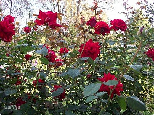 Всем моим гостям солнечного летнего настроения! У меня, наконец-то, начался сезон цветения роз. И мне не терпится поделиться с вами, дорогие жители и гости Страны мастеров, своей радостью. Когда-то в моем далёком детстве розы казались мне чем-то абсолютно  недосягаемым. Астры и космея были пределом моих  мечтаний. В далёкой национальной провинциальной деревне астры-то мало кто знал, а выращивали 1-2 человека. Когда у меня много лет назад зацвела первая роза, это было что-то невообразимое. Тогда для меня существовал один вид - роза. Конечно, теперь я много знаю , читаю, смотрю в интернете, узнаю на своём, к сожалению, иногда крайне печальном опыте, когда розы погибают из-за суровых зим или во время оттепелей. Розы остаются для меня как и тогда, просто розами, без претензий. Они украшают моё лето и дарят радость окружающим. Посмотрите на них и вы. Пусть они подарят вам несколько минут счастья. фото 44
