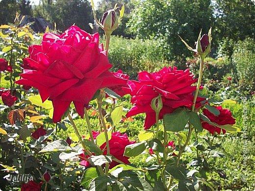 Всем моим гостям солнечного летнего настроения! У меня, наконец-то, начался сезон цветения роз. И мне не терпится поделиться с вами, дорогие жители и гости Страны мастеров, своей радостью. Когда-то в моем далёком детстве розы казались мне чем-то абсолютно  недосягаемым. Астры и космея были пределом моих  мечтаний. В далёкой национальной провинциальной деревне астры-то мало кто знал, а выращивали 1-2 человека. Когда у меня много лет назад зацвела первая роза, это было что-то невообразимое. Тогда для меня существовал один вид - роза. Конечно, теперь я много знаю , читаю, смотрю в интернете, узнаю на своём, к сожалению, иногда крайне печальном опыте, когда розы погибают из-за суровых зим или во время оттепелей. Розы остаются для меня как и тогда, просто розами, без претензий. Они украшают моё лето и дарят радость окружающим. Посмотрите на них и вы. Пусть они подарят вам несколько минут счастья. фото 45