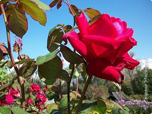 Всем моим гостям солнечного летнего настроения! У меня, наконец-то, начался сезон цветения роз. И мне не терпится поделиться с вами, дорогие жители и гости Страны мастеров, своей радостью. Когда-то в моем далёком детстве розы казались мне чем-то абсолютно  недосягаемым. Астры и космея были пределом моих  мечтаний. В далёкой национальной провинциальной деревне астры-то мало кто знал, а выращивали 1-2 человека. Когда у меня много лет назад зацвела первая роза, это было что-то невообразимое. Тогда для меня существовал один вид - роза. Конечно, теперь я много знаю , читаю, смотрю в интернете, узнаю на своём, к сожалению, иногда крайне печальном опыте, когда розы погибают из-за суровых зим или во время оттепелей. Розы остаются для меня как и тогда, просто розами, без претензий. Они украшают моё лето и дарят радость окружающим. Посмотрите на них и вы. Пусть они подарят вам несколько минут счастья. фото 46