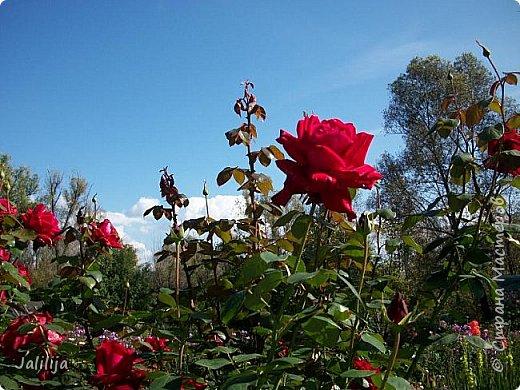 Всем моим гостям солнечного летнего настроения! У меня, наконец-то, начался сезон цветения роз. И мне не терпится поделиться с вами, дорогие жители и гости Страны мастеров, своей радостью. Когда-то в моем далёком детстве розы казались мне чем-то абсолютно  недосягаемым. Астры и космея были пределом моих  мечтаний. В далёкой национальной провинциальной деревне астры-то мало кто знал, а выращивали 1-2 человека. Когда у меня много лет назад зацвела первая роза, это было что-то невообразимое. Тогда для меня существовал один вид - роза. Конечно, теперь я много знаю , читаю, смотрю в интернете, узнаю на своём, к сожалению, иногда крайне печальном опыте, когда розы погибают из-за суровых зим или во время оттепелей. Розы остаются для меня как и тогда, просто розами, без претензий. Они украшают моё лето и дарят радость окружающим. Посмотрите на них и вы. Пусть они подарят вам несколько минут счастья. фото 47