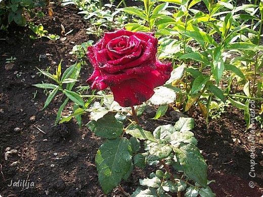 Всем моим гостям солнечного летнего настроения! У меня, наконец-то, начался сезон цветения роз. И мне не терпится поделиться с вами, дорогие жители и гости Страны мастеров, своей радостью. Когда-то в моем далёком детстве розы казались мне чем-то абсолютно  недосягаемым. Астры и космея были пределом моих  мечтаний. В далёкой национальной провинциальной деревне астры-то мало кто знал, а выращивали 1-2 человека. Когда у меня много лет назад зацвела первая роза, это было что-то невообразимое. Тогда для меня существовал один вид - роза. Конечно, теперь я много знаю , читаю, смотрю в интернете, узнаю на своём, к сожалению, иногда крайне печальном опыте, когда розы погибают из-за суровых зим или во время оттепелей. Розы остаются для меня как и тогда, просто розами, без претензий. Они украшают моё лето и дарят радость окружающим. Посмотрите на них и вы. Пусть они подарят вам несколько минут счастья. фото 48
