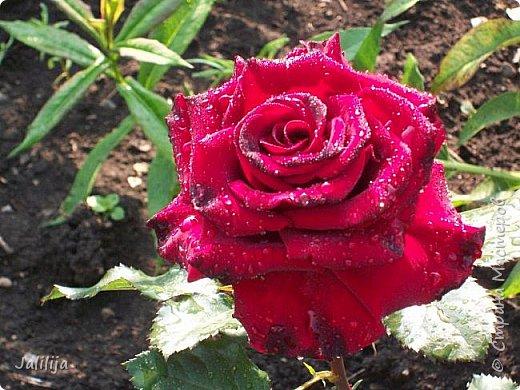 Всем моим гостям солнечного летнего настроения! У меня, наконец-то, начался сезон цветения роз. И мне не терпится поделиться с вами, дорогие жители и гости Страны мастеров, своей радостью. Когда-то в моем далёком детстве розы казались мне чем-то абсолютно  недосягаемым. Астры и космея были пределом моих  мечтаний. В далёкой национальной провинциальной деревне астры-то мало кто знал, а выращивали 1-2 человека. Когда у меня много лет назад зацвела первая роза, это было что-то невообразимое. Тогда для меня существовал один вид - роза. Конечно, теперь я много знаю , читаю, смотрю в интернете, узнаю на своём, к сожалению, иногда крайне печальном опыте, когда розы погибают из-за суровых зим или во время оттепелей. Розы остаются для меня как и тогда, просто розами, без претензий. Они украшают моё лето и дарят радость окружающим. Посмотрите на них и вы. Пусть они подарят вам несколько минут счастья. фото 49