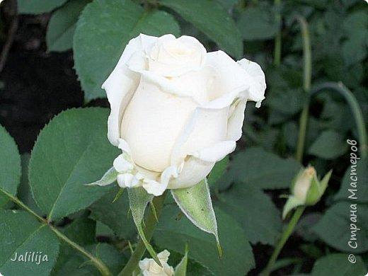 Всем моим гостям солнечного летнего настроения! У меня, наконец-то, начался сезон цветения роз. И мне не терпится поделиться с вами, дорогие жители и гости Страны мастеров, своей радостью. Когда-то в моем далёком детстве розы казались мне чем-то абсолютно  недосягаемым. Астры и космея были пределом моих  мечтаний. В далёкой национальной провинциальной деревне астры-то мало кто знал, а выращивали 1-2 человека. Когда у меня много лет назад зацвела первая роза, это было что-то невообразимое. Тогда для меня существовал один вид - роза. Конечно, теперь я много знаю , читаю, смотрю в интернете, узнаю на своём, к сожалению, иногда крайне печальном опыте, когда розы погибают из-за суровых зим или во время оттепелей. Розы остаются для меня как и тогда, просто розами, без претензий. Они украшают моё лето и дарят радость окружающим. Посмотрите на них и вы. Пусть они подарят вам несколько минут счастья. фото 4
