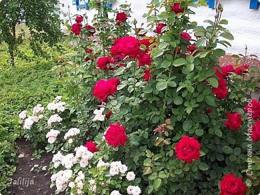 Всем моим гостям солнечного летнего настроения! У меня, наконец-то, начался сезон цветения роз. И мне не терпится поделиться с вами, дорогие жители и гости Страны мастеров, своей радостью. Когда-то в моем далёком детстве розы казались мне чем-то абсолютно  недосягаемым. Астры и космея были пределом моих  мечтаний. В далёкой национальной провинциальной деревне астры-то мало кто знал, а выращивали 1-2 человека. Когда у меня много лет назад зацвела первая роза, это было что-то невообразимое. Тогда для меня существовал один вид - роза. Конечно, теперь я много знаю , читаю, смотрю в интернете, узнаю на своём, к сожалению, иногда крайне печальном опыте, когда розы погибают из-за суровых зим или во время оттепелей. Розы остаются для меня как и тогда, просто розами, без претензий. Они украшают моё лето и дарят радость окружающим. Посмотрите на них и вы. Пусть они подарят вам несколько минут счастья. фото 50