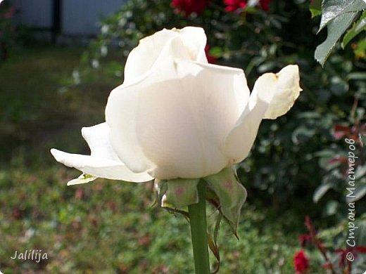 Всем моим гостям солнечного летнего настроения! У меня, наконец-то, начался сезон цветения роз. И мне не терпится поделиться с вами, дорогие жители и гости Страны мастеров, своей радостью. Когда-то в моем далёком детстве розы казались мне чем-то абсолютно  недосягаемым. Астры и космея были пределом моих  мечтаний. В далёкой национальной провинциальной деревне астры-то мало кто знал, а выращивали 1-2 человека. Когда у меня много лет назад зацвела первая роза, это было что-то невообразимое. Тогда для меня существовал один вид - роза. Конечно, теперь я много знаю , читаю, смотрю в интернете, узнаю на своём, к сожалению, иногда крайне печальном опыте, когда розы погибают из-за суровых зим или во время оттепелей. Розы остаются для меня как и тогда, просто розами, без претензий. Они украшают моё лето и дарят радость окружающим. Посмотрите на них и вы. Пусть они подарят вам несколько минут счастья. фото 5