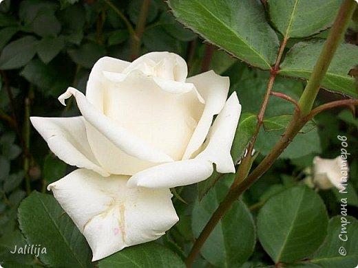 Всем моим гостям солнечного летнего настроения! У меня, наконец-то, начался сезон цветения роз. И мне не терпится поделиться с вами, дорогие жители и гости Страны мастеров, своей радостью. Когда-то в моем далёком детстве розы казались мне чем-то абсолютно  недосягаемым. Астры и космея были пределом моих  мечтаний. В далёкой национальной провинциальной деревне астры-то мало кто знал, а выращивали 1-2 человека. Когда у меня много лет назад зацвела первая роза, это было что-то невообразимое. Тогда для меня существовал один вид - роза. Конечно, теперь я много знаю , читаю, смотрю в интернете, узнаю на своём, к сожалению, иногда крайне печальном опыте, когда розы погибают из-за суровых зим или во время оттепелей. Розы остаются для меня как и тогда, просто розами, без претензий. Они украшают моё лето и дарят радость окружающим. Посмотрите на них и вы. Пусть они подарят вам несколько минут счастья. фото 6