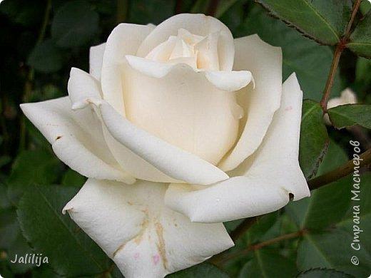 Всем моим гостям солнечного летнего настроения! У меня, наконец-то, начался сезон цветения роз. И мне не терпится поделиться с вами, дорогие жители и гости Страны мастеров, своей радостью. Когда-то в моем далёком детстве розы казались мне чем-то абсолютно  недосягаемым. Астры и космея были пределом моих  мечтаний. В далёкой национальной провинциальной деревне астры-то мало кто знал, а выращивали 1-2 человека. Когда у меня много лет назад зацвела первая роза, это было что-то невообразимое. Тогда для меня существовал один вид - роза. Конечно, теперь я много знаю , читаю, смотрю в интернете, узнаю на своём, к сожалению, иногда крайне печальном опыте, когда розы погибают из-за суровых зим или во время оттепелей. Розы остаются для меня как и тогда, просто розами, без претензий. Они украшают моё лето и дарят радость окружающим. Посмотрите на них и вы. Пусть они подарят вам несколько минут счастья. фото 7