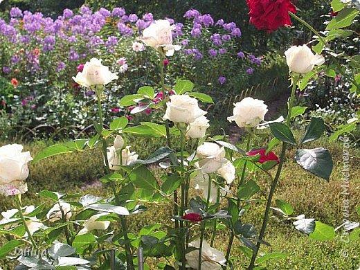 Всем моим гостям солнечного летнего настроения! У меня, наконец-то, начался сезон цветения роз. И мне не терпится поделиться с вами, дорогие жители и гости Страны мастеров, своей радостью. Когда-то в моем далёком детстве розы казались мне чем-то абсолютно  недосягаемым. Астры и космея были пределом моих  мечтаний. В далёкой национальной провинциальной деревне астры-то мало кто знал, а выращивали 1-2 человека. Когда у меня много лет назад зацвела первая роза, это было что-то невообразимое. Тогда для меня существовал один вид - роза. Конечно, теперь я много знаю , читаю, смотрю в интернете, узнаю на своём, к сожалению, иногда крайне печальном опыте, когда розы погибают из-за суровых зим или во время оттепелей. Розы остаются для меня как и тогда, просто розами, без претензий. Они украшают моё лето и дарят радость окружающим. Посмотрите на них и вы. Пусть они подарят вам несколько минут счастья. фото 8