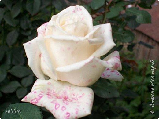 Всем моим гостям солнечного летнего настроения! У меня, наконец-то, начался сезон цветения роз. И мне не терпится поделиться с вами, дорогие жители и гости Страны мастеров, своей радостью. Когда-то в моем далёком детстве розы казались мне чем-то абсолютно  недосягаемым. Астры и космея были пределом моих  мечтаний. В далёкой национальной провинциальной деревне астры-то мало кто знал, а выращивали 1-2 человека. Когда у меня много лет назад зацвела первая роза, это было что-то невообразимое. Тогда для меня существовал один вид - роза. Конечно, теперь я много знаю , читаю, смотрю в интернете, узнаю на своём, к сожалению, иногда крайне печальном опыте, когда розы погибают из-за суровых зим или во время оттепелей. Розы остаются для меня как и тогда, просто розами, без претензий. Они украшают моё лето и дарят радость окружающим. Посмотрите на них и вы. Пусть они подарят вам несколько минут счастья. фото 9