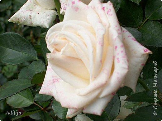 Всем моим гостям солнечного летнего настроения! У меня, наконец-то, начался сезон цветения роз. И мне не терпится поделиться с вами, дорогие жители и гости Страны мастеров, своей радостью. Когда-то в моем далёком детстве розы казались мне чем-то абсолютно  недосягаемым. Астры и космея были пределом моих  мечтаний. В далёкой национальной провинциальной деревне астры-то мало кто знал, а выращивали 1-2 человека. Когда у меня много лет назад зацвела первая роза, это было что-то невообразимое. Тогда для меня существовал один вид - роза. Конечно, теперь я много знаю , читаю, смотрю в интернете, узнаю на своём, к сожалению, иногда крайне печальном опыте, когда розы погибают из-за суровых зим или во время оттепелей. Розы остаются для меня как и тогда, просто розами, без претензий. Они украшают моё лето и дарят радость окружающим. Посмотрите на них и вы. Пусть они подарят вам несколько минут счастья. фото 10