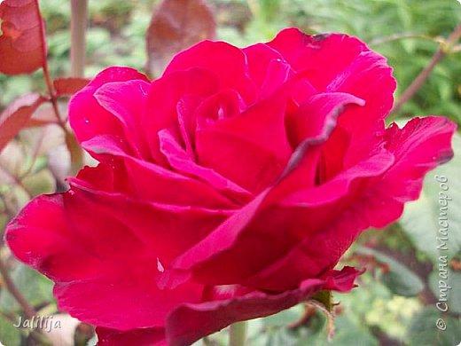 Всем моим гостям солнечного летнего настроения! У меня, наконец-то, начался сезон цветения роз. И мне не терпится поделиться с вами, дорогие жители и гости Страны мастеров, своей радостью. Когда-то в моем далёком детстве розы казались мне чем-то абсолютно  недосягаемым. Астры и космея были пределом моих  мечтаний. В далёкой национальной провинциальной деревне астры-то мало кто знал, а выращивали 1-2 человека. Когда у меня много лет назад зацвела первая роза, это было что-то невообразимое. Тогда для меня существовал один вид - роза. Конечно, теперь я много знаю , читаю, смотрю в интернете, узнаю на своём, к сожалению, иногда крайне печальном опыте, когда розы погибают из-за суровых зим или во время оттепелей. Розы остаются для меня как и тогда, просто розами, без претензий. Они украшают моё лето и дарят радость окружающим. Посмотрите на них и вы. Пусть они подарят вам несколько минут счастья. фото 13