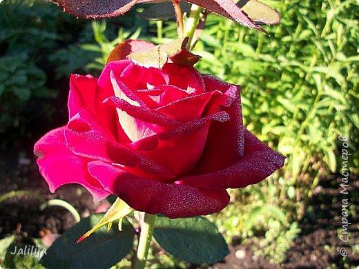 Всем моим гостям солнечного летнего настроения! У меня, наконец-то, начался сезон цветения роз. И мне не терпится поделиться с вами, дорогие жители и гости Страны мастеров, своей радостью. Когда-то в моем далёком детстве розы казались мне чем-то абсолютно  недосягаемым. Астры и космея были пределом моих  мечтаний. В далёкой национальной провинциальной деревне астры-то мало кто знал, а выращивали 1-2 человека. Когда у меня много лет назад зацвела первая роза, это было что-то невообразимое. Тогда для меня существовал один вид - роза. Конечно, теперь я много знаю , читаю, смотрю в интернете, узнаю на своём, к сожалению, иногда крайне печальном опыте, когда розы погибают из-за суровых зим или во время оттепелей. Розы остаются для меня как и тогда, просто розами, без претензий. Они украшают моё лето и дарят радость окружающим. Посмотрите на них и вы. Пусть они подарят вам несколько минут счастья. фото 16