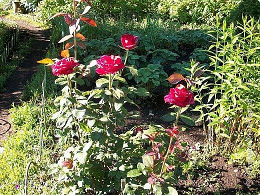 Всем моим гостям солнечного летнего настроения! У меня, наконец-то, начался сезон цветения роз. И мне не терпится поделиться с вами, дорогие жители и гости Страны мастеров, своей радостью. Когда-то в моем далёком детстве розы казались мне чем-то абсолютно  недосягаемым. Астры и космея были пределом моих  мечтаний. В далёкой национальной провинциальной деревне астры-то мало кто знал, а выращивали 1-2 человека. Когда у меня много лет назад зацвела первая роза, это было что-то невообразимое. Тогда для меня существовал один вид - роза. Конечно, теперь я много знаю , читаю, смотрю в интернете, узнаю на своём, к сожалению, иногда крайне печальном опыте, когда розы погибают из-за суровых зим или во время оттепелей. Розы остаются для меня как и тогда, просто розами, без претензий. Они украшают моё лето и дарят радость окружающим. Посмотрите на них и вы. Пусть они подарят вам несколько минут счастья. фото 15