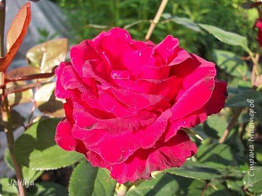Всем моим гостям солнечного летнего настроения! У меня, наконец-то, начался сезон цветения роз. И мне не терпится поделиться с вами, дорогие жители и гости Страны мастеров, своей радостью. Когда-то в моем далёком детстве розы казались мне чем-то абсолютно  недосягаемым. Астры и космея были пределом моих  мечтаний. В далёкой национальной провинциальной деревне астры-то мало кто знал, а выращивали 1-2 человека. Когда у меня много лет назад зацвела первая роза, это было что-то невообразимое. Тогда для меня существовал один вид - роза. Конечно, теперь я много знаю , читаю, смотрю в интернете, узнаю на своём, к сожалению, иногда крайне печальном опыте, когда розы погибают из-за суровых зим или во время оттепелей. Розы остаются для меня как и тогда, просто розами, без претензий. Они украшают моё лето и дарят радость окружающим. Посмотрите на них и вы. Пусть они подарят вам несколько минут счастья. фото 14