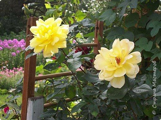 Всем моим гостям солнечного летнего настроения! У меня, наконец-то, начался сезон цветения роз. И мне не терпится поделиться с вами, дорогие жители и гости Страны мастеров, своей радостью. Когда-то в моем далёком детстве розы казались мне чем-то абсолютно  недосягаемым. Астры и космея были пределом моих  мечтаний. В далёкой национальной провинциальной деревне астры-то мало кто знал, а выращивали 1-2 человека. Когда у меня много лет назад зацвела первая роза, это было что-то невообразимое. Тогда для меня существовал один вид - роза. Конечно, теперь я много знаю , читаю, смотрю в интернете, узнаю на своём, к сожалению, иногда крайне печальном опыте, когда розы погибают из-за суровых зим или во время оттепелей. Розы остаются для меня как и тогда, просто розами, без претензий. Они украшают моё лето и дарят радость окружающим. Посмотрите на них и вы. Пусть они подарят вам несколько минут счастья. фото 18