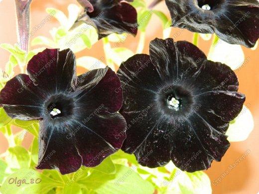 Рада всех приветствовать! Этот мой пост скорее хваст. Не могу не похвастаться своей красавицей петунией! Сорт называется, если не ошибаюсь, «Черный бархат». Может не все оценят черные цветы, но какая же она для меня классная! фото 2