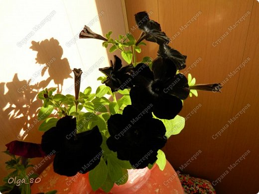 Рада всех приветствовать! Этот мой пост скорее хваст. Не могу не похвастаться своей красавицей петунией! Сорт называется, если не ошибаюсь, «Черный бархат». Может не все оценят черные цветы, но какая же она для меня классная! фото 4