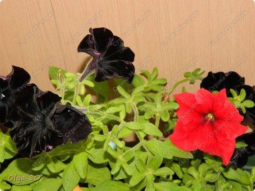 Рада всех приветствовать! Этот мой пост скорее хваст. Не могу не похвастаться своей красавицей петунией! Сорт называется, если не ошибаюсь, «Черный бархат». Может не все оценят черные цветы, но какая же она для меня классная! фото 5