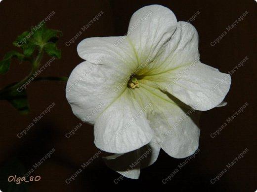 Рада всех приветствовать! Этот мой пост скорее хваст. Не могу не похвастаться своей красавицей петунией! Сорт называется, если не ошибаюсь, «Черный бархат». Может не все оценят черные цветы, но какая же она для меня классная! фото 7