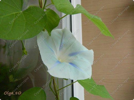 Рада всех приветствовать! Этот мой пост скорее хваст. Не могу не похвастаться своей красавицей петунией! Сорт называется, если не ошибаюсь, «Черный бархат». Может не все оценят черные цветы, но какая же она для меня классная! фото 13