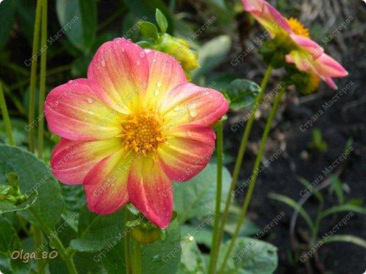 Рада всех приветствовать! Этот мой пост скорее хваст. Не могу не похвастаться своей красавицей петунией! Сорт называется, если не ошибаюсь, «Черный бархат». Может не все оценят черные цветы, но какая же она для меня классная! фото 14